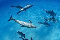 These Atlantic Bottlenose Dolphin, Tursiops truncatus, were photographed while briefly interacting with a group of Atlantic Spotted Dolphin, Stenella plagiodon, on the Bahamas Bank, Bahamas, Caribbean, Atlantic