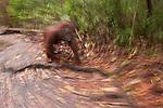 Bornean Orangutan (Pongo pygmaeus wurmbii) - mother in motion blur