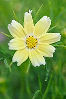 Cosmos bipinnatus 'Lemonade'