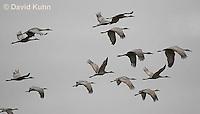 0102-1019  Flock of Sandhill Cranes in Flight, Grus canadensis  © David Kuhn/Dwight Kuhn Photography
