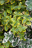 Euonymus fortunei Emerald N Gold & Emerald Gaiety, varieties of variegated shrub compared together side by side