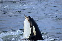 killer whale, Orcinus orca, eating common murre, Uria aalge, Monterey Bay, California, USA, East Pacific Ocean