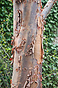 Peeling bark of paper-bark maple (Acer griseum).