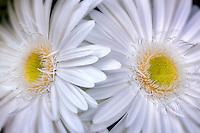 Close up of White Gerbera Daisy Sumurai.