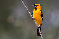 Altamira Oriole (Icterus gularis tamaulipensis), adult on a tree branch at the Bentsen-Rio Grande Valley State Park in Mission, Texas.