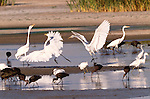 Great egrets, snowy egrets and glossy ibis, San Luis National Wildlife Refuge Complex, California, USA