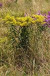 Sweet goldenrod medium shot 1 plant