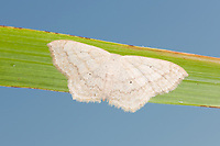 Large Lace-border (Scopula limboundata)