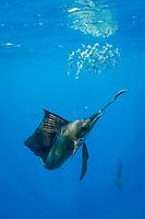 Atlantic sailfish, Istiophorus albicans, bills a sardine that it has knocked out of a bait ball of Spanish sardines (aka gilt sardine, pilchard, or round sardinella), Sardinella aurita, off Yucatan Peninsula, Mexico (Caribbean Sea) #2 in sequence of 3 images