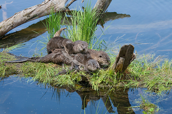 Northern River Otter (Lontra canadensis) family--mother with three pups play on old log along edge of lake.  Western U.S., summer..