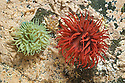Beadlet Anemones {Actinia equina}, red and green forms in rock pool at low tide. Isle of Mull, Scotland, UK. June.