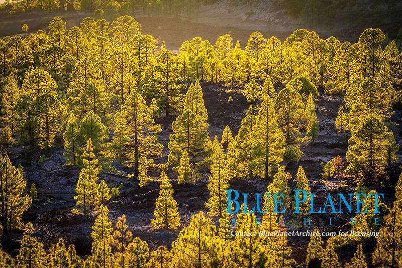 conifer forest, Teide National Park, La Orotava, Tenerife, Canary Islands, Spain