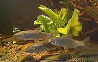 Graskarpfen, Grasfisch, Gras-Karpfen, Gras-Fisch, Weißer Amur, Amurkarpfen, Amur-Karpfen, Ctenopharyngodon idella, grass carp