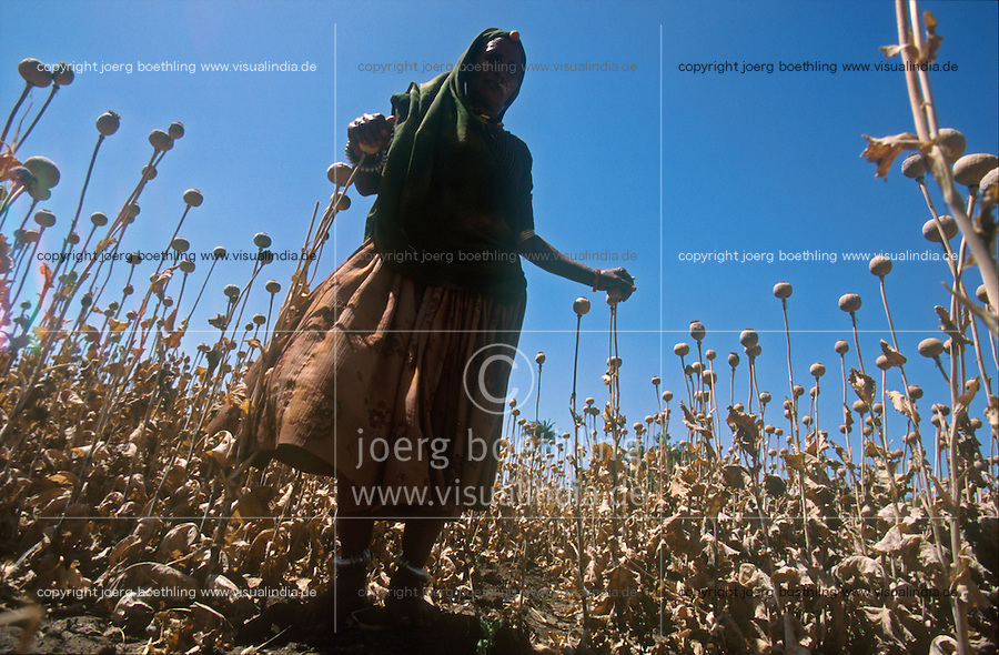 INDIA Rajasthan , legal controlled opium farming for Pharmaceutical industry for processing of Morphin drugs, dried poppy field after harvest / INDIEN Rajasthan , legaler kontrollierter Opium Anbau fuer die Pharmaindustrie zur Gewinnung von Morphin fuer Herstellung von Schmerzmittel, vertrocknetes Mohnfeld nach der Ernte