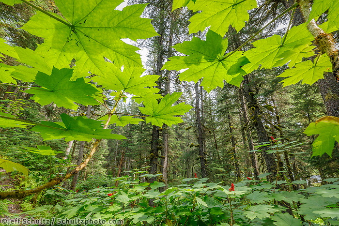 Summer landscape of backlit devils club leaves in Forest on Kenai Penninsula, Summer, Alaska   <br /> <br /> Photo by Jeff Schultz/  (C) 2019  ALL RIGHTS RESERVED