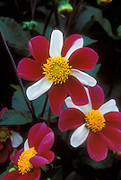 Dahlia Twynings Smartie red and white flower