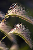 Backlit foxtail grass. Summer Lake State Wildlife Refuge. Oregon