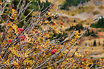 Blazing fall color at Tipsoo Lakes, below Natches Peak off Highway 410, Mt. Rainier National Park.  Sitka Mountain-Ash (Sorbus sitchensis) adds to the mix of blueberry, huckleberry and drying bear grass.
