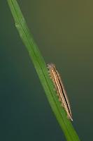 Blauäugiger Waldportier, Blaukernauge, Raupe, Jungraupe, Minois dryas, Dryad, caterpillar, Le Grand nègre des bois, la Dryade
