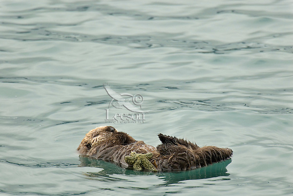Sea Otter (Enhydra lutris) pup sleeping while mother dives for food.  Sea star is food the mother has caught and given to pup.  At this age pup mostly plays with solid food.
