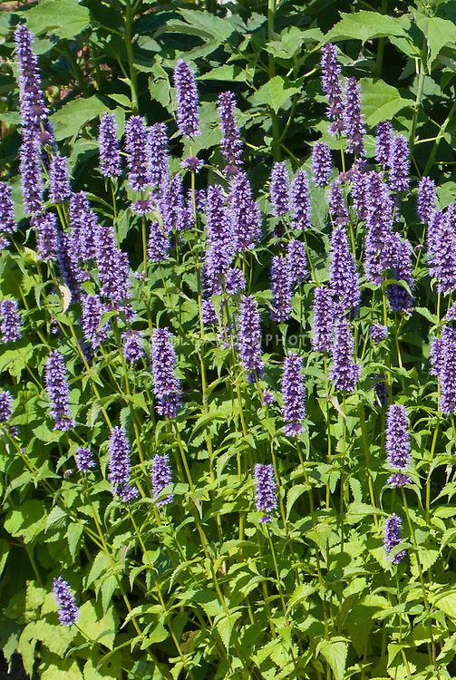 Agastache 'Black Adder' blue flowered perennial plumes, spiky upright plant