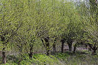Kopfweiden, Kopfweide, Kopf-Weiden, Kopfbaum, Kopfbäume, Weide, Weiden, Salix spec., Sallow, Willow, Pollard Willow, Willows, Pollard Willows, Pollarded willows, Pollarded trees, Pollarded tree