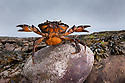 Shore Crab {Carcinus maenas} female carrying eggs with claws raised in defensive posture. Northumberland, UK. May.