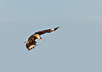 Crested Caracara hovering in flight