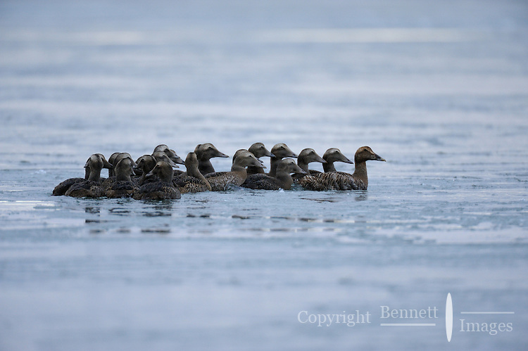A flock of birds gathers in rapidly freezing water near Kaktovik, Alaska.