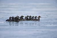 A flock of birds gathers in rapidly freezing water near Kaktovik, Alaska.