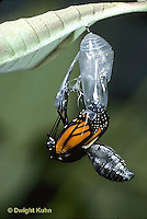 MO04-014z   Monarch Butterfly -adult emerging from chrysalis - Danaus plexippus