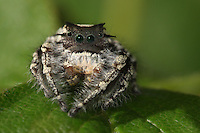 Jumping spider atop a strawberry leaf..