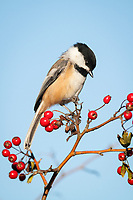 black-capped chickadee, Poecile atricapillus, perched on berry branch in fall, Nova Scotia, Canada