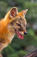 Gray Fox (Urocyon cinereoargenteus) is the only North American canid with true climbing ability, summer, Minnesota, U.S.A.