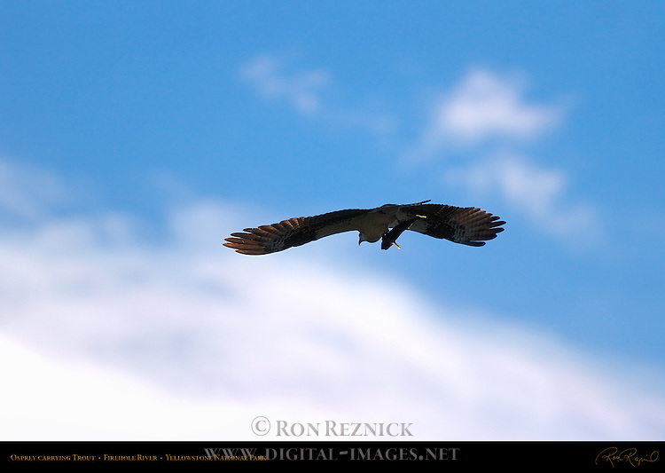 Osprey carrying Trout, Firehole River, Yellowstone National Park