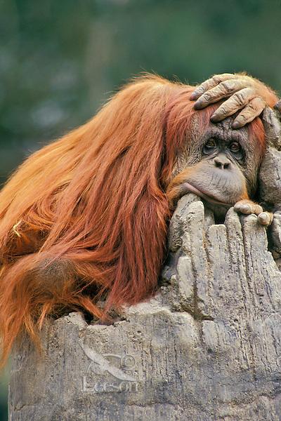 Orangutan (Pongo pygmaeus)