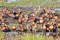 Wandering & Plumed Whistling-Ducks, Yellow Water, Kakadu NP, NT, Australia