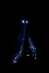 Black Water diving over Gulfstream Current; Plankton; SE Florida Atlantic Ocean; larval fish; pelagic larval marine life; plankton creatures; vertical migration marine creatures