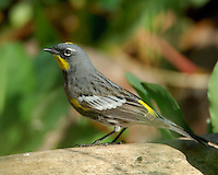 Yellow-rumped Warbler, South Texas