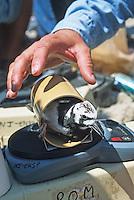 Wildlife Biologist, weighing a Ruddy Turnstone, Kimble's Beach, New Jersey
