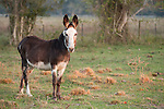 Brazoria County, Damon, Texas; a female donkey, called a Jenny, used in the pastures to protect the cattle from coyote