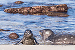 La Jolla, California; a newborn harbor seal pup comes on to the beach after a swimming lesson from its mother, in the shallow water just offshore, in early morning sunlight