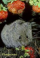 MU30-075z  Meadow Vole - eating strawberries - Microtus pennsylvanicus