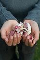 Boy planting garlic cloves