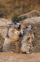 Alpine Marmot, Marmota marmota, adults, Saas Fee, Switzerland, Europe