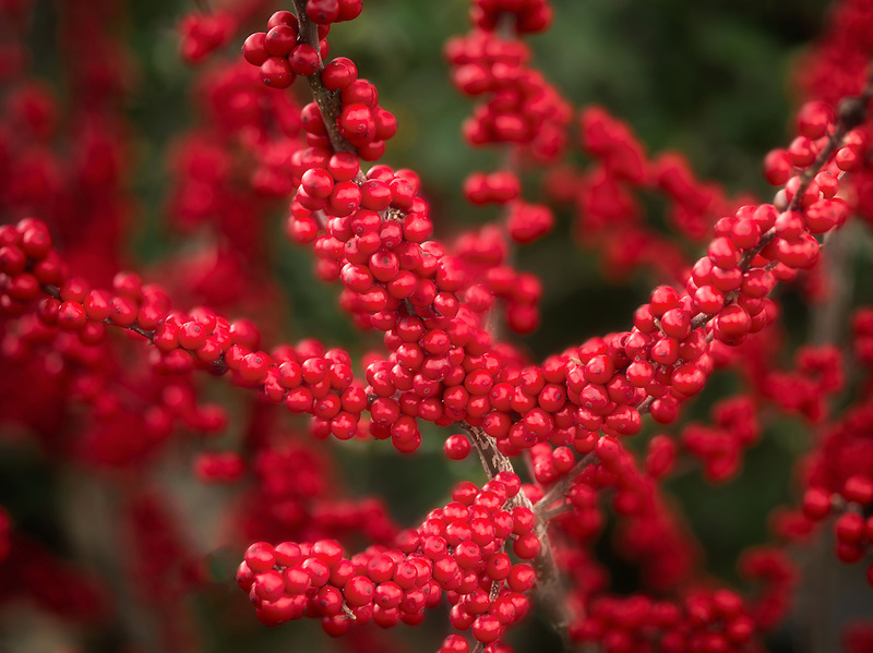 Cloe up of Winterberry Winter Rd Holly. Oregon
