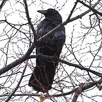 A crow on a bare tree on the background of a cloudy sky. This is an enlargement of the original photo (Paris, 2010).<br /> <br /> Un corvo su un albero spoglio, sullo sfondo di un cielo nuvoloso. Questo è un ingrandimento della foto originale (Parigi, 2010).
