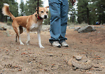 Brandy goes through snake-avoidance training at Davis Creek Park in Washoe Valley, Nev., on Saturday Aug. 18, 2012..Photo by Cathleen Allison