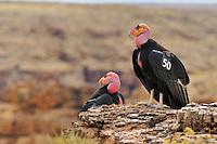 California Condor (Gymnogyps californianus) near Marble Canyon (Colorado River), Grand Canyon National Park, Arizona.