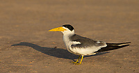 One of a few different tern species seen in the Pantanal.